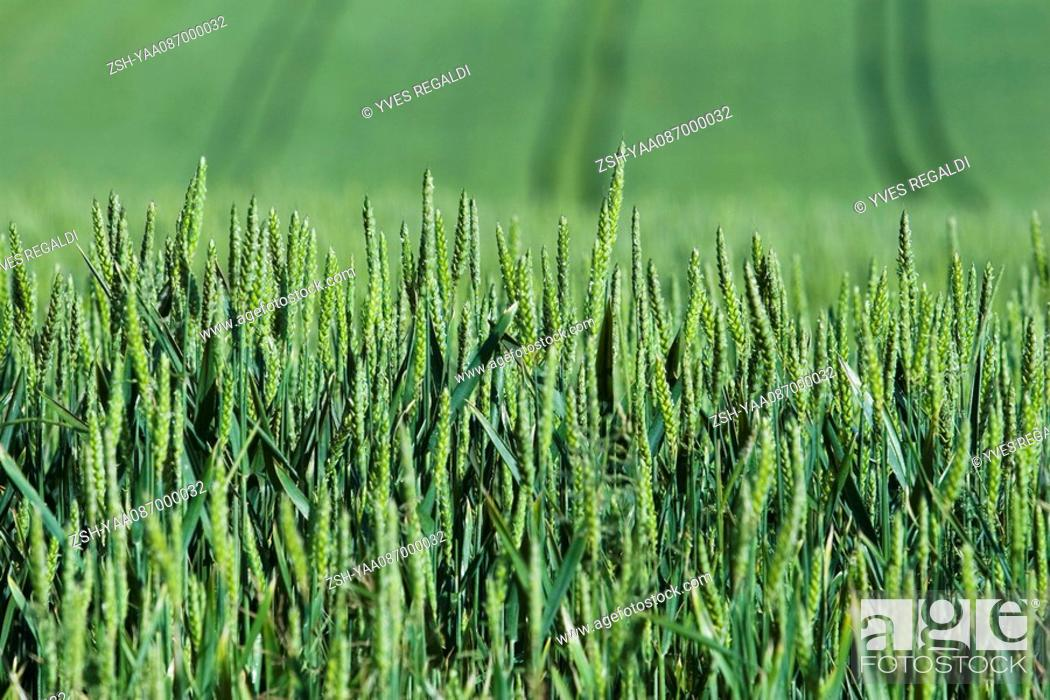 Stock Photo: Green wheat growing in field, close-up.
