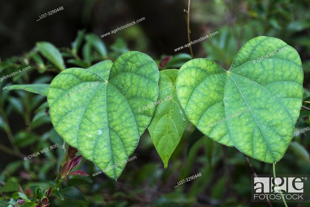 Stock Photo: Leaves around Kampung Satow, Sarawak, Malaysia.