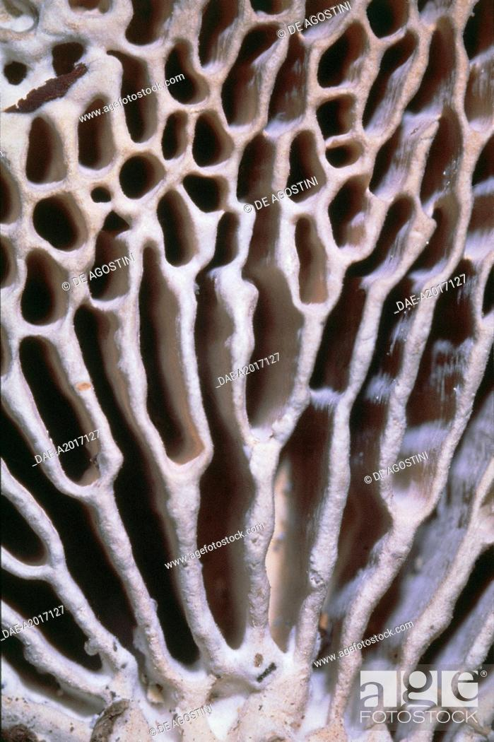 Imagen: Fungi - Fomitopsidaceae - Not edible mushrooms - Oak mazegill (Daedalea quercina) - Particular of the maze-like pattern of pores.