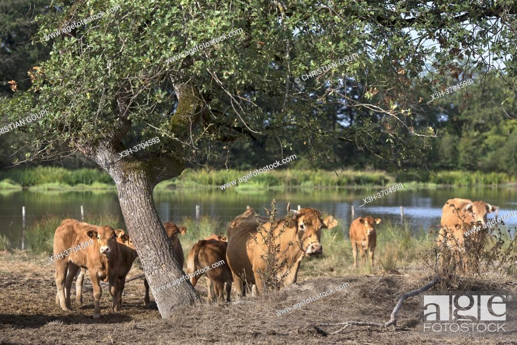 Stock Photo: bovins au bord d'un etang, Parc naturel regional de la Brenne, departement de l'Indre, Province historique du Berry, region Centre-Val de Loire.