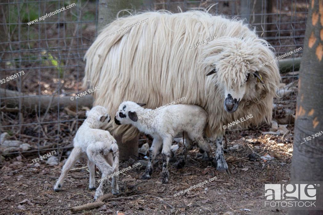 Stock Photo: autoctonas Lebrijana Churra sheep, Andalucia, Spain, Europe.