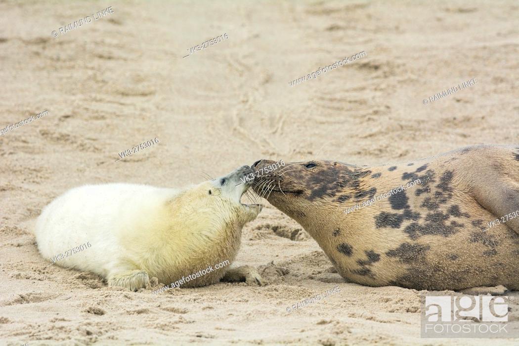 Stock Photo: Grey Seal, Halichoerus grypus, Female wih Pup, Europe.