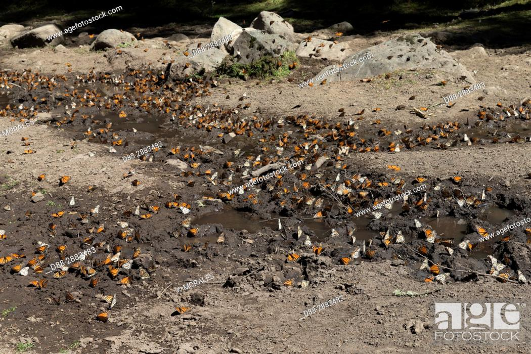 Imagen: Central America, Mexico, State of Michoacan, Angangueo, Reserve of the Biosfera Monarca El Rosario, Monarch (Danaus plexippus) butterflies gathering to drink.