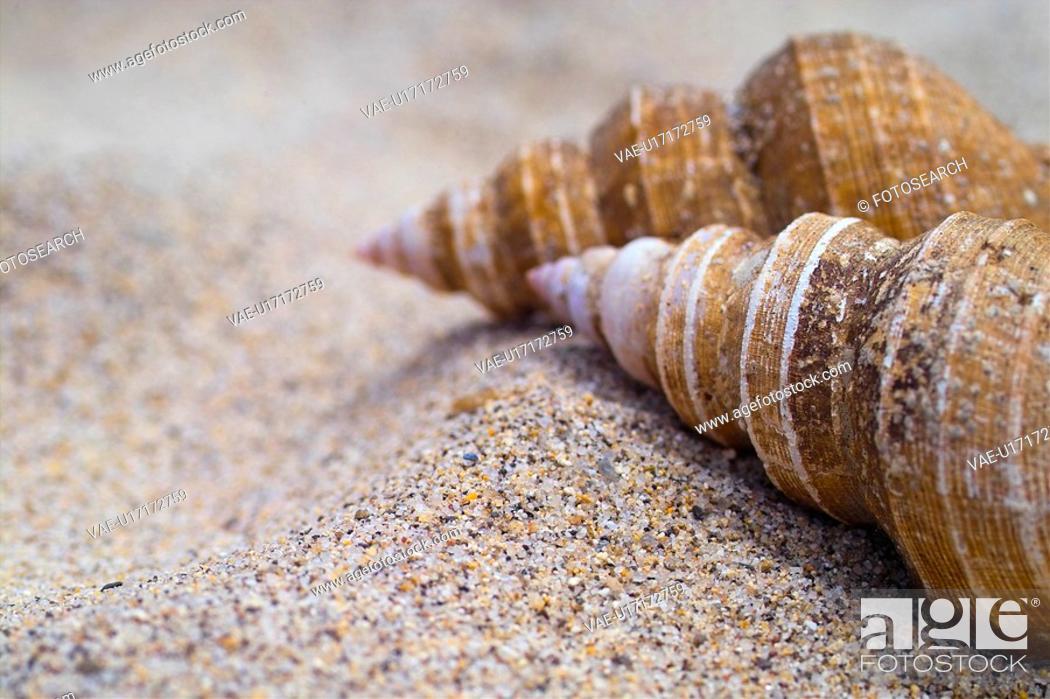 Stock Photo: mollusc, sand, mollusks, mollusk, animal, mollucca, conch.