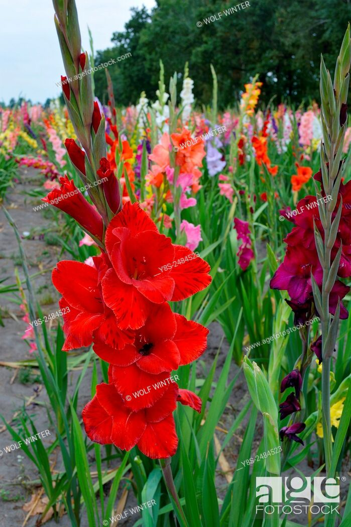 Stock Photo: Self service field of Gladioluses near Celle, Lower Saxony, Germany.
