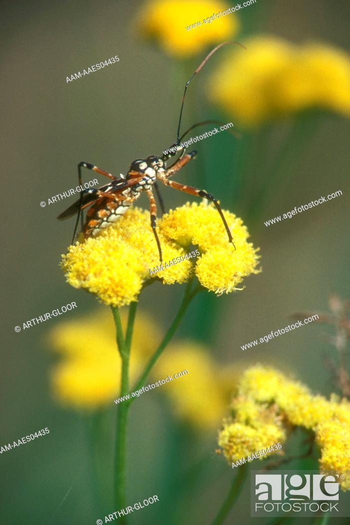 Stock Photo: Assassin-Bug-/n(Family:-Reduviidae)/nMoremi,-Botswana.