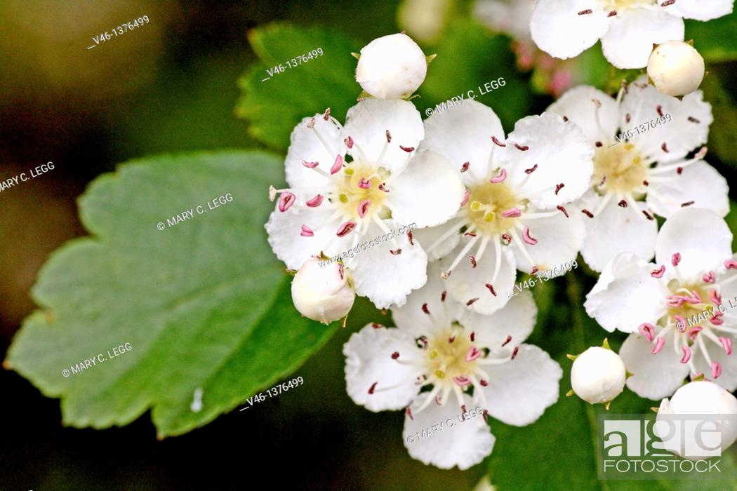 Stock Photo: Oneseed Hawthorn, Crataegus monogyn  Spray of hawthorn   Blossoms crowd together  Blossoms of the hawthorn can be used for making wine and honey  Berries of the.