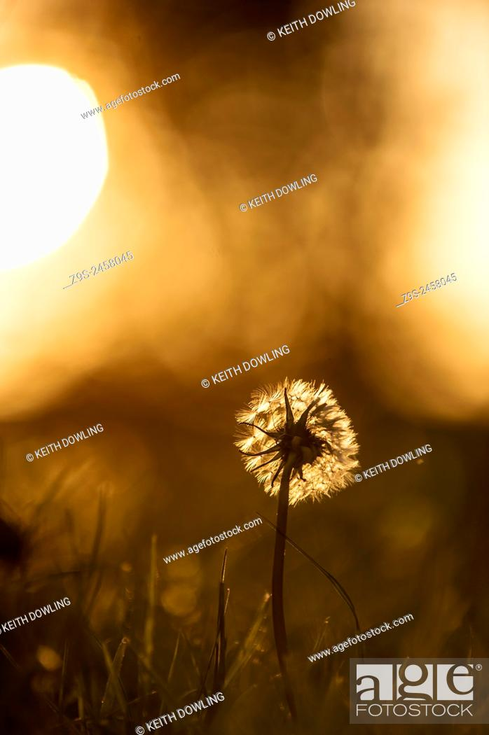 Stock Photo: Remains of the day, Dandelion in evening Sunlight.