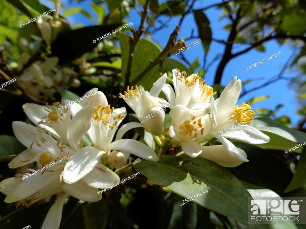 Stock Photo: Citrus aurantium.