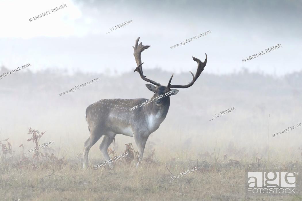 Stock Photo: Fallow Deer (Cervus dama) on misty morning, Autumn, Hesse, Germany, Europe.