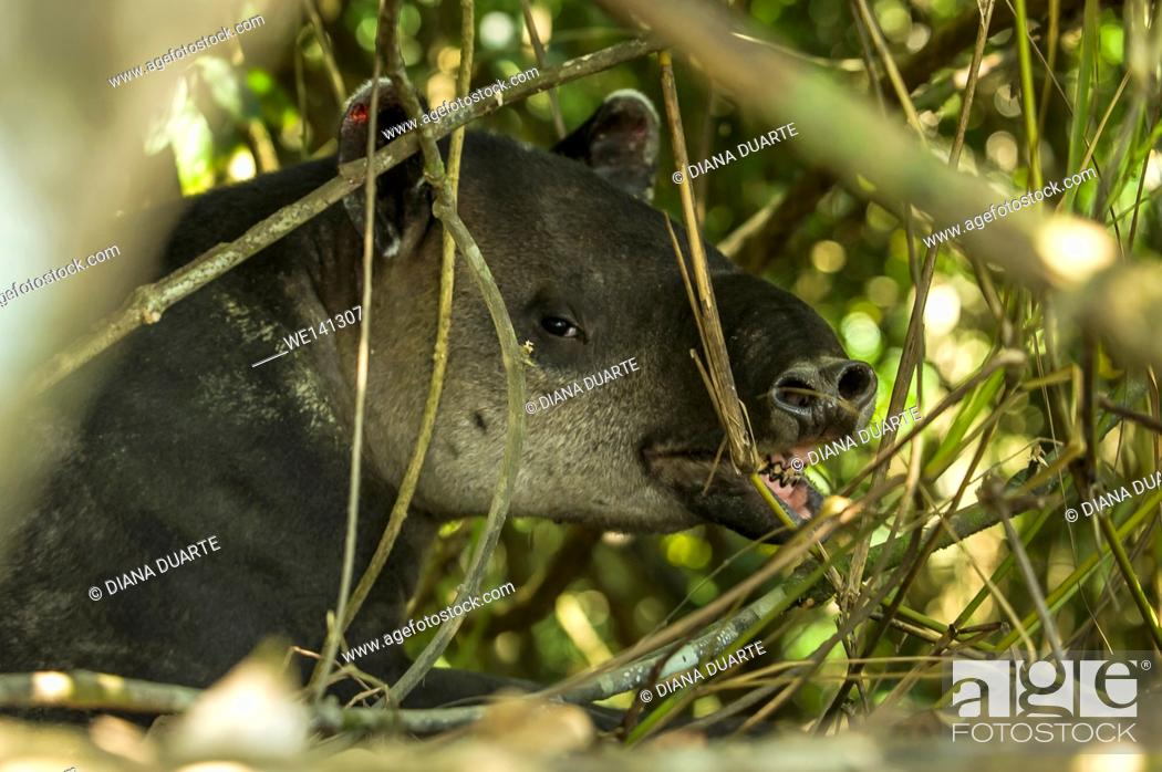 "Stock Photo: """"""""""Tapir"""" (Tapirus Bairdii), Tapirs have become an important symbol of preservation because they thrive in primary forests."