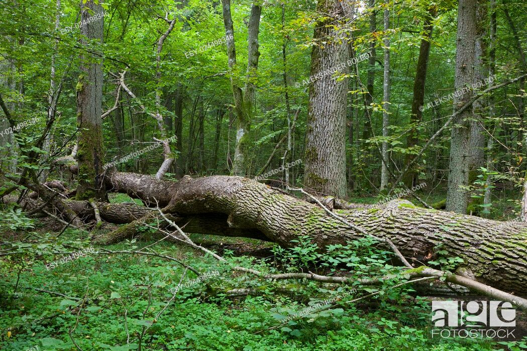Stock Photo: Autumnal deciduous stand with dead tree partly declined in foreground, Bialowieza Forest, Poland, Europe.