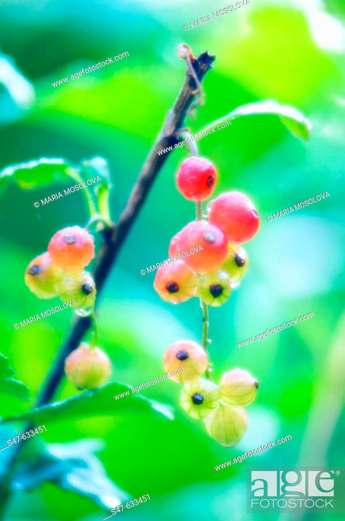 Stock Photo: Red currants. Ribes rubrum. June 2006. Maryland, USA.