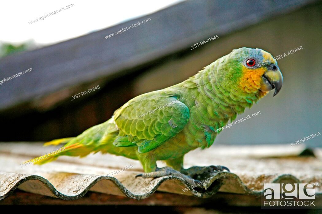 Stock Photo: Bird, Belém, Pará, Brazil.