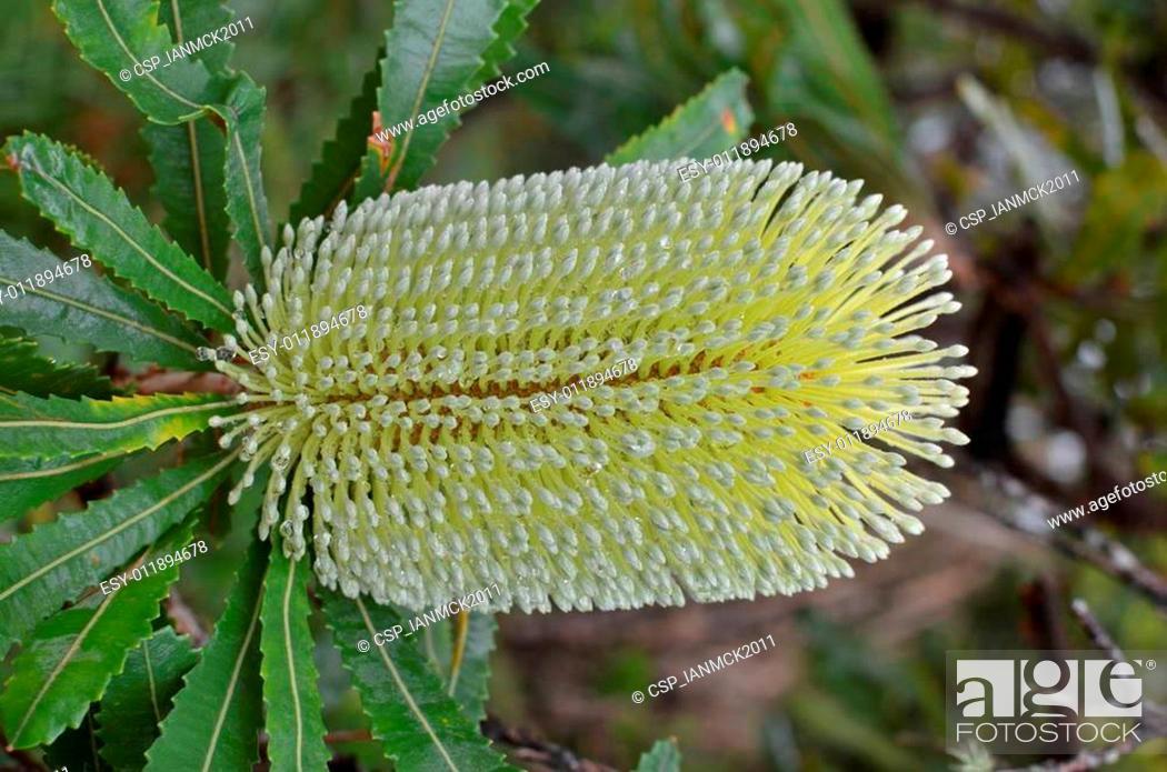 Stock Photo: Banksia Integrifolia Blossom.