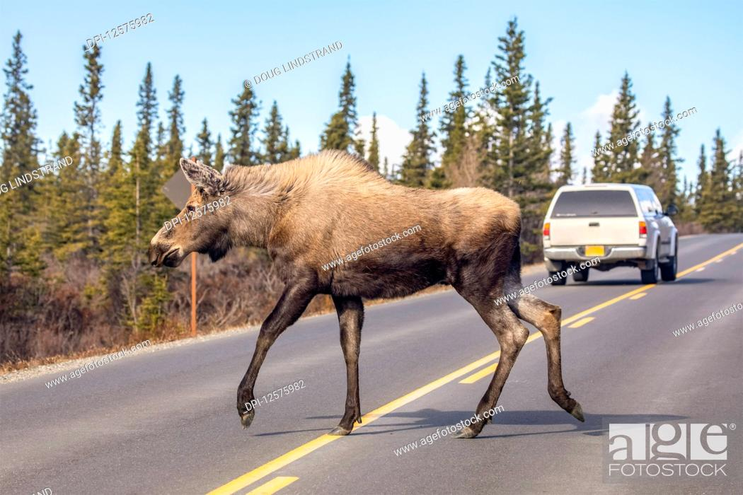 Stock Photo: A cow moose (Alces alces) crosses the Park road after a car swung around her, Denali National Park and Preserve; Alaska, United States of America.