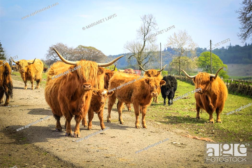 Stock Photo: Long haired and horned Aberdeen Angus cows in a Scottish farm, Scotland, United Kingdom.