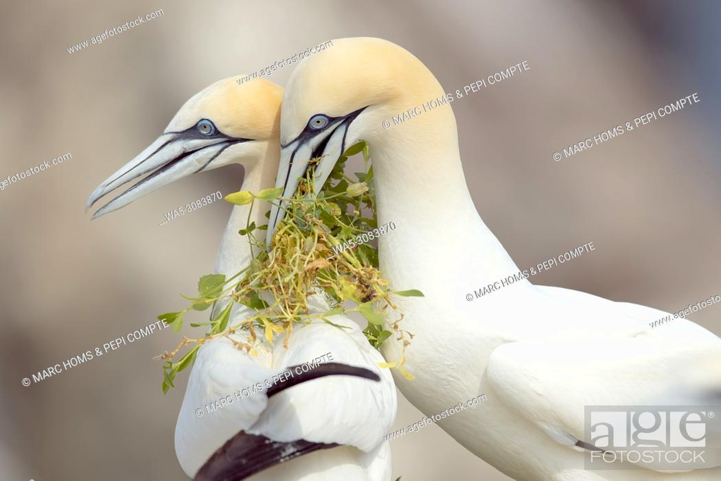 Stock Photo: Atlantic gannet made present grass for the nest at female in Saltee Island, Ireland.