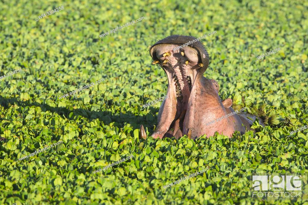 Stock Photo: Wild hippopotamus (Hippopotamus amphibus) displaying dominance in a pond covered with water lettuce, Masai Mara National Reserve, Kenya, Africa.