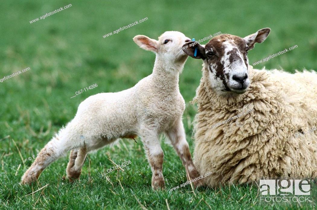 Stock Photo: Ewe and lambs. Buckinghamshire, England, UK.