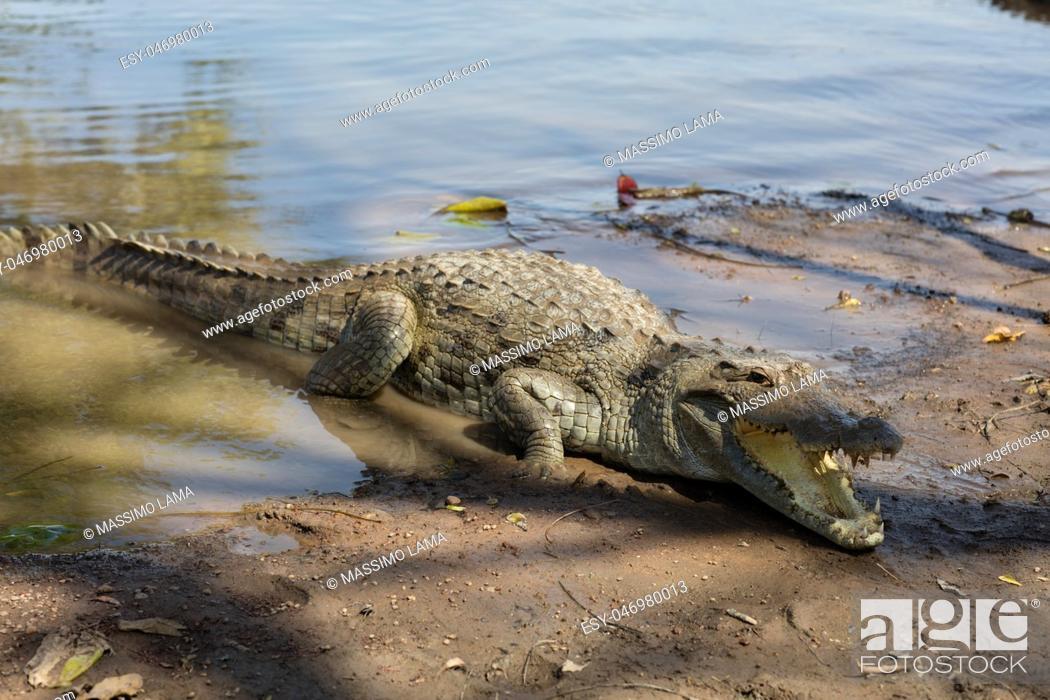 Imagen: Sacred crocodile in Sabou, Burkina Faso, Africa.