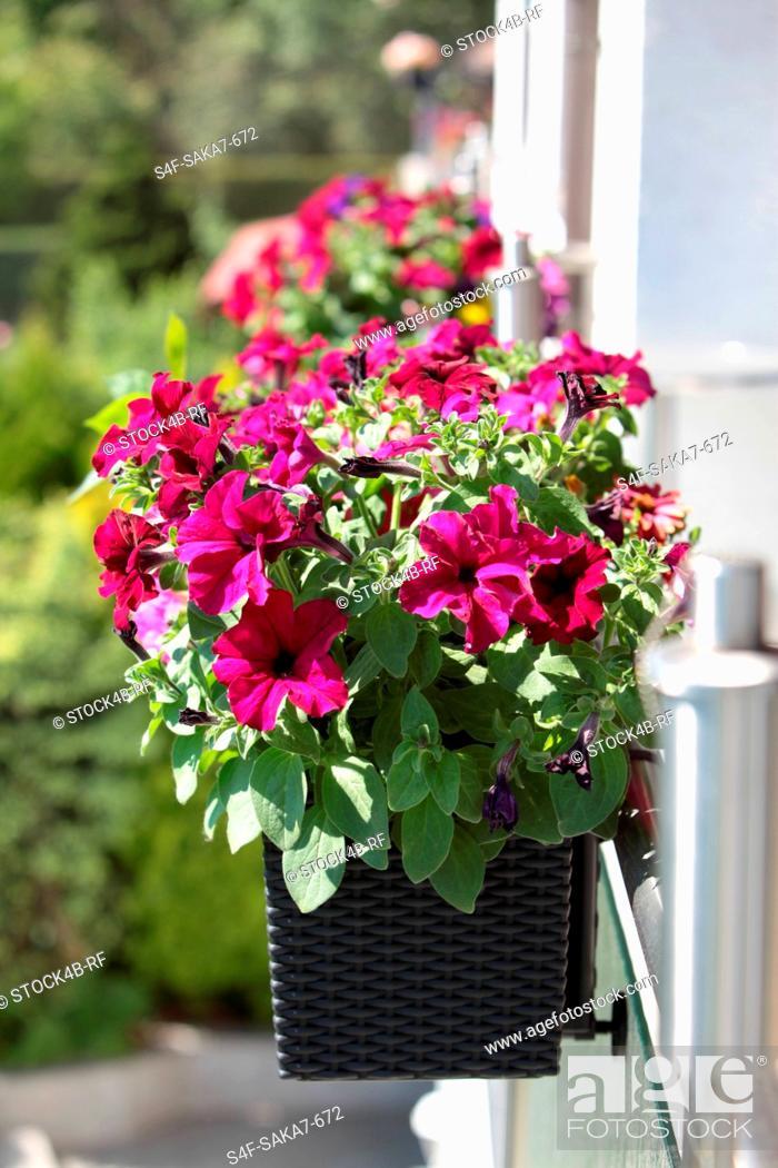 Stock Photo: Petunias in flower box on balcony.