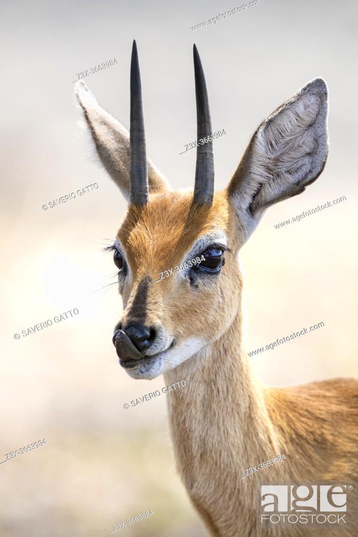 Stock Photo: Steenbok (Raphicerus campestris), adult male close-up, Mpumalanga, South Africa.