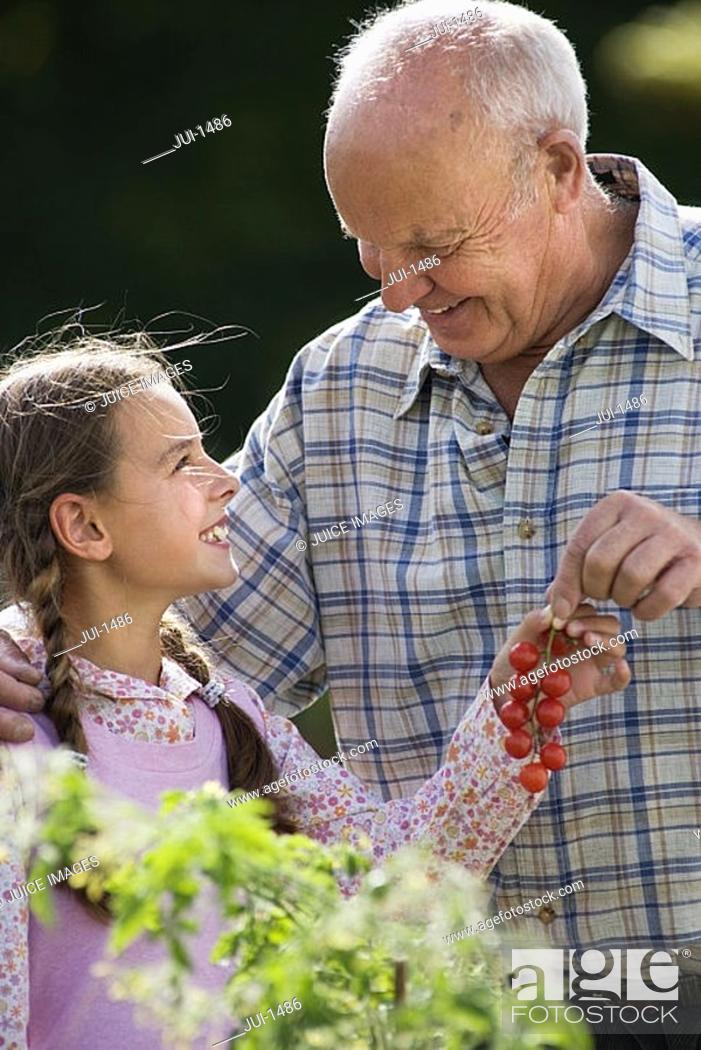 Stock Photo: Grandfather and granddaughter 8-10 picking cherry tomatoes in vegetable garden, smiling, side view.