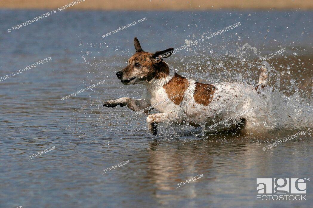 Imagen: running Jack Russell Terrier.