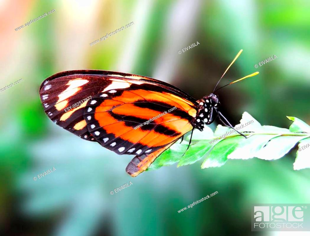 Stock Photo: Orange butterfly resting on a tropical leaf.