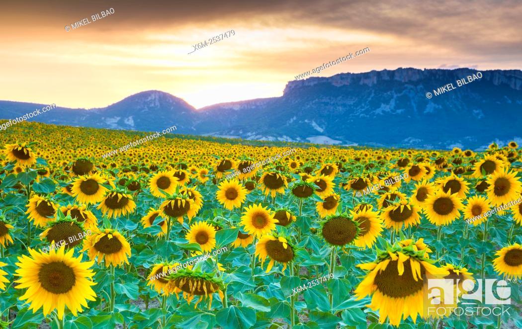 Photo de stock: Sunflowers plantation. Arteaga village, Tierra Estella county. Navarre, Spain, Europe.