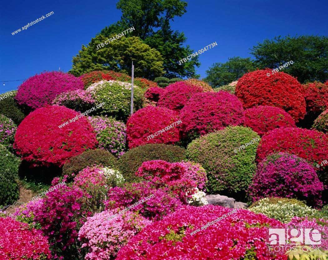 Stock Photo: Tsurumine park, azalea, Okaya, Nagano, Japan.