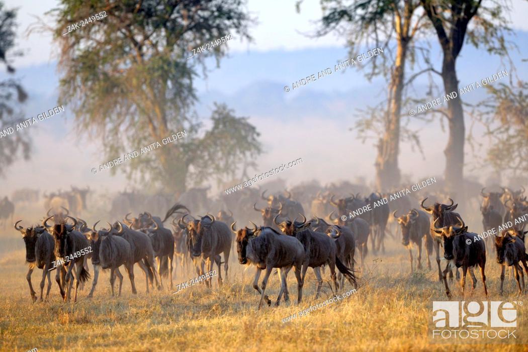 Stock Photo: Wildebeest (Connochaetus taurinus), gnu, at sunrise during the great migration, Serengeti national park, Tanzania.