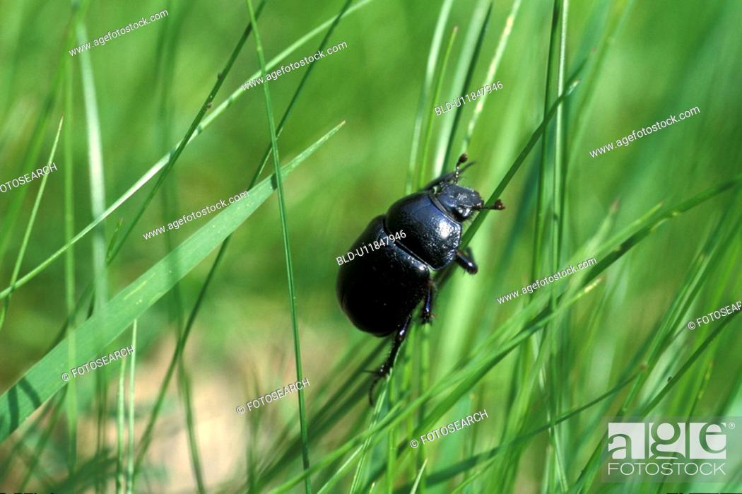 Stock Photo: close-up, beetle, CLOSE, black, Bernhard, animals.
