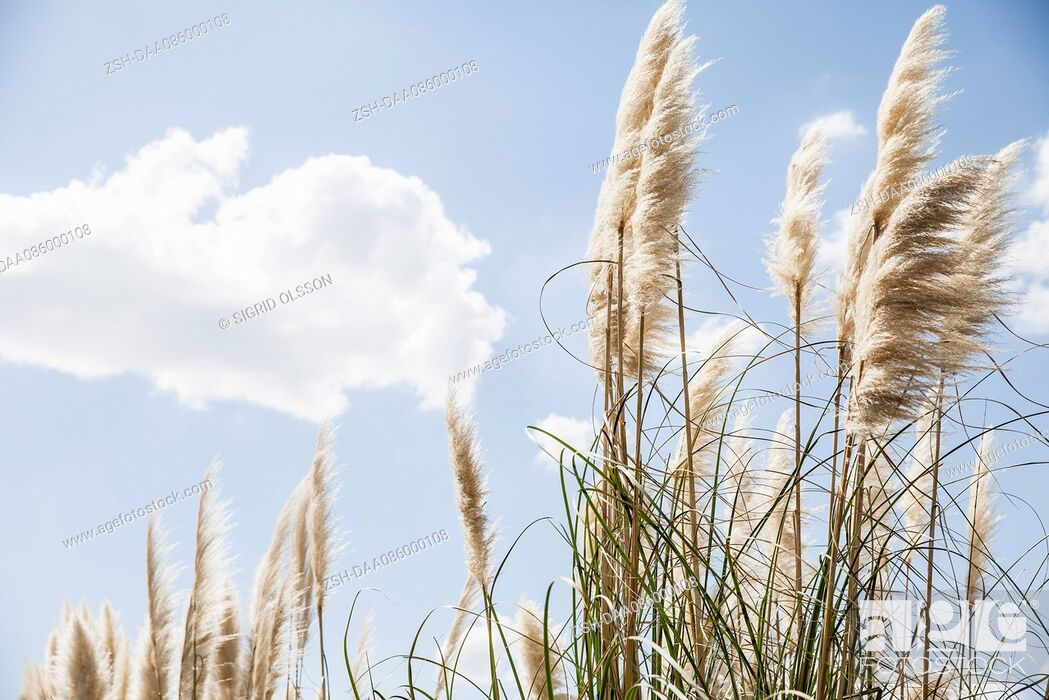 Stock Photo: Tall grass against blue sky dotted with clouds.