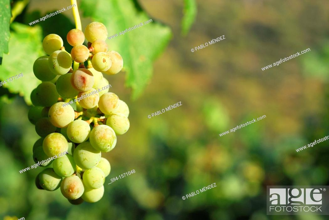 Imagen: Cluster of white grapes in Valencia del Sil, Orense, Spain.