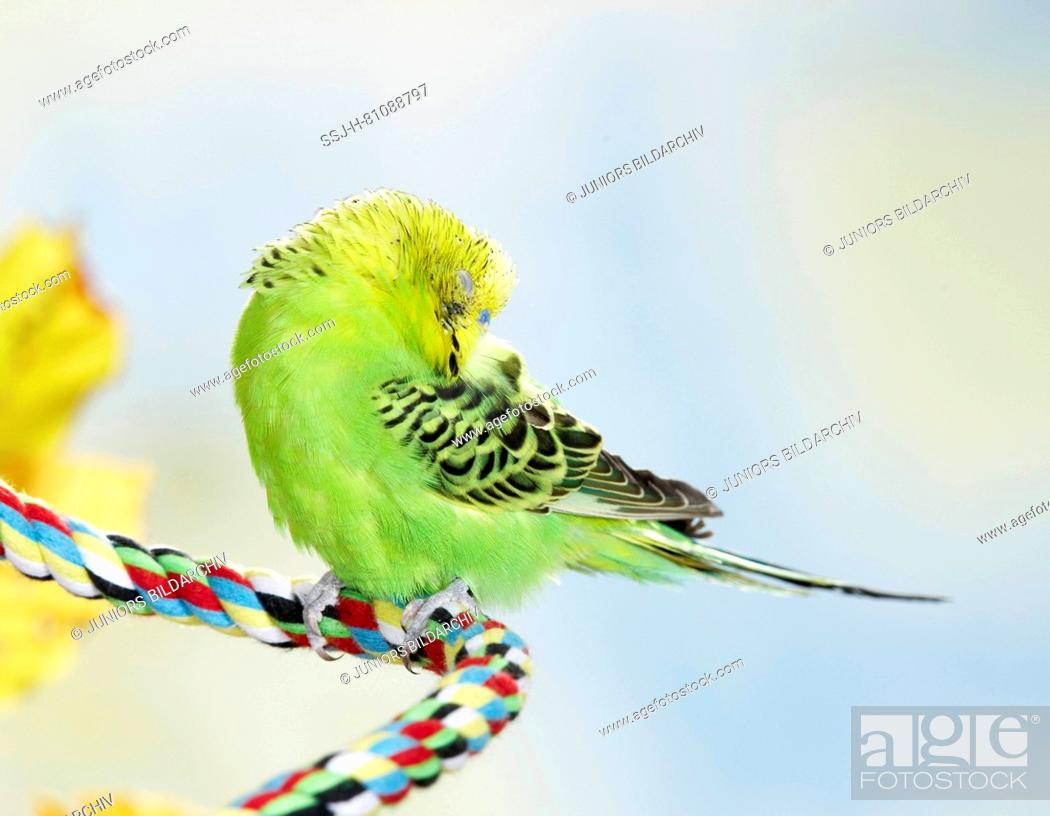 Stock Photo: Budgerigar, Budgie (Melopsittacus undulatus). Green adult sleeping on a multicolored cord. Germany.