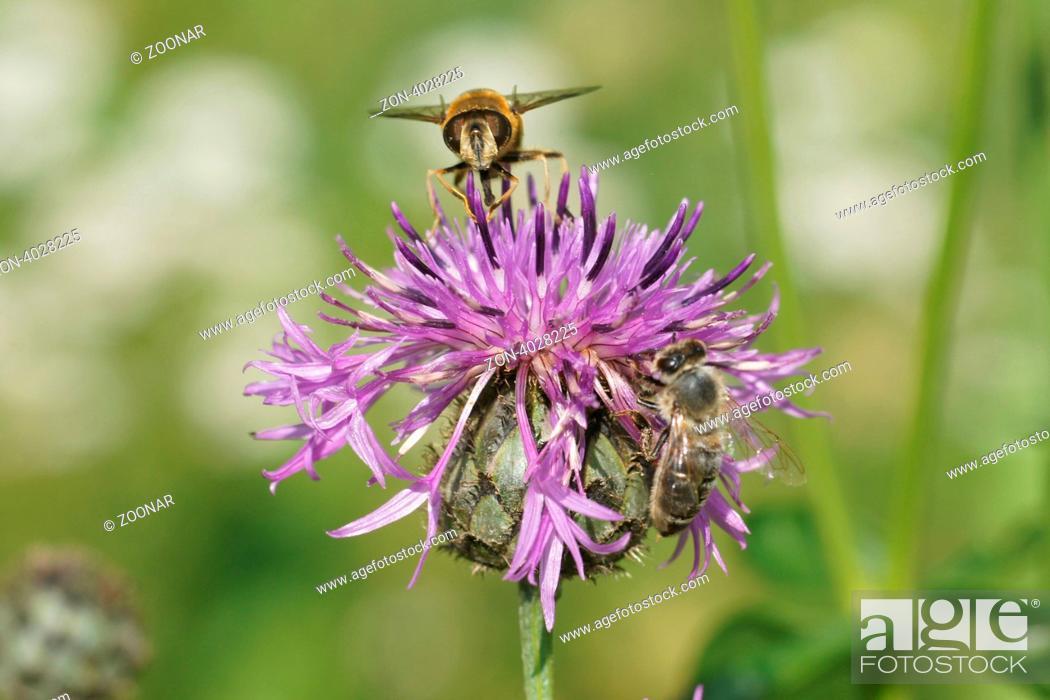 Stock Photo: Blüte mit Bienen.