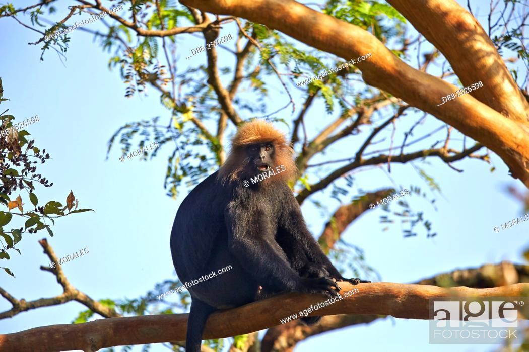 Stock Photo: Asia, India, Tamil Nadu, Anaimalai Mountain Range Nilgiri hills, . Nilgiri langur Trachypithecus johnii.