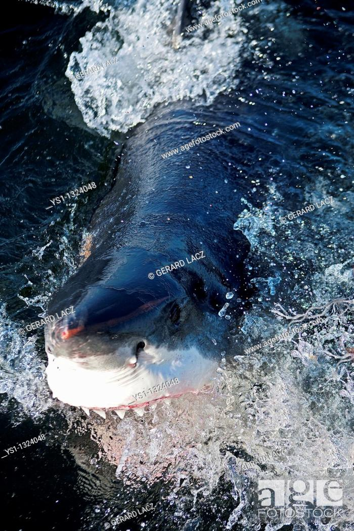 Stock Photo: GREAT WHITE SHARK carcharodon carcharias, ADULT ATTACKING WITH OPEN MOUTH, FALSE BAY IN SOUTH AFRICA.