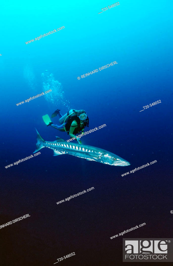 Stock Photo: Great Barracuda and scuba diver, Sphyraena barracuda, Bali, Indian Ocean, Indonesia.