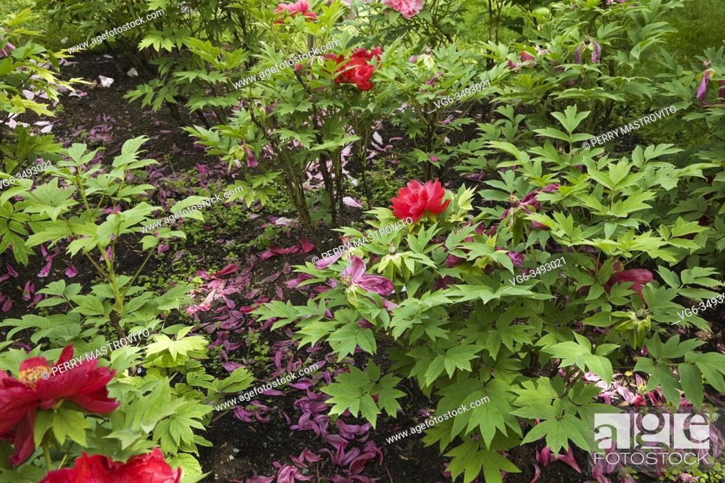 Stock Photo: Purple Paeonia - Peony Shrubs in late spring, Montreal, Botanical Garden, Quebec, Canada.