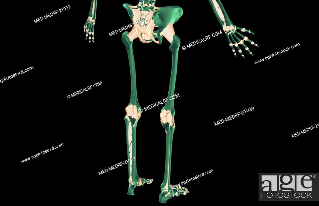 Stock Photo: The ligaments of the lower body.