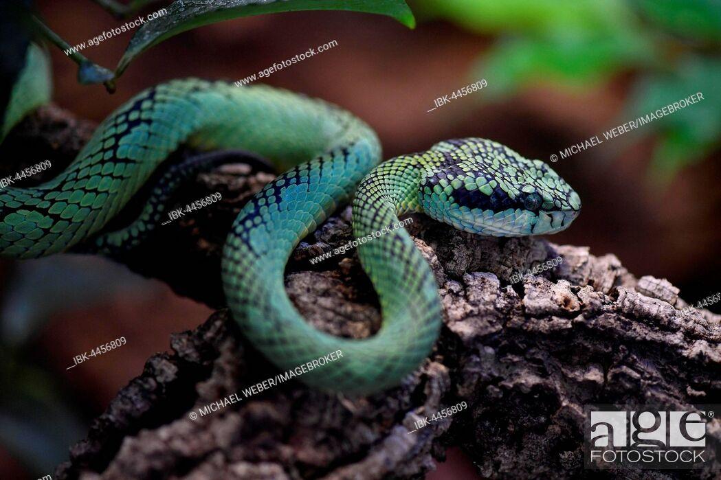 Stock Photo: Sri Lankan green pit viper, also Ceylon pit viper or pala polonga (Trimeresurus trigonocephalus) on branch, captive.