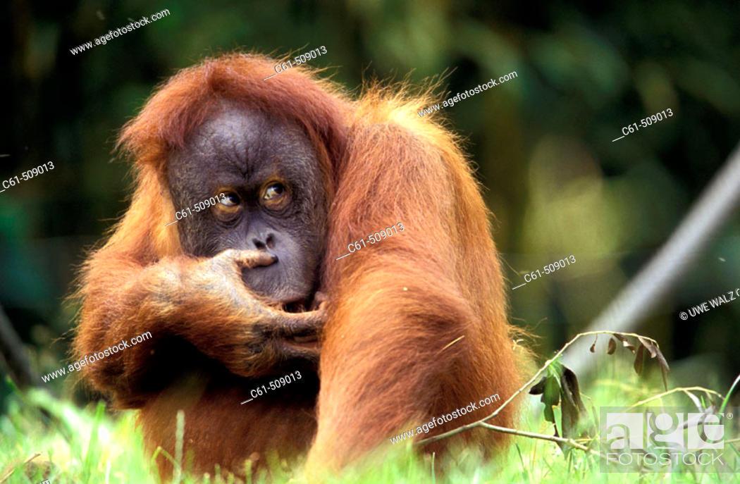 Stock Photo: Sumatra Orangutan (Pongo pygmaeus abelii).