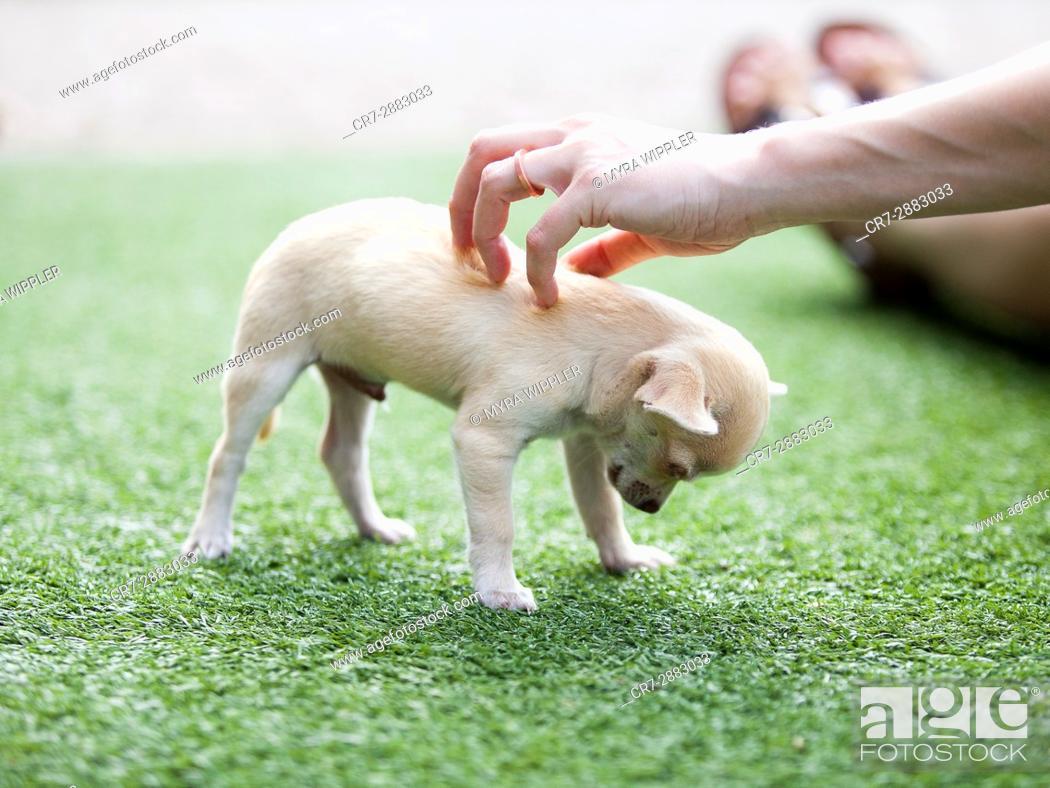 Stock Photo: Chihuahua puppy.
