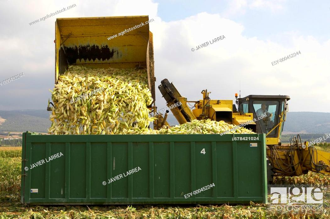 Stock Photo: Corn crops, Oco, near Estella, Navarre, Spain.