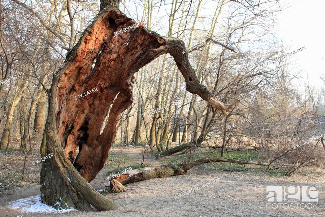 Stock Photo: white poplar, silver-leaved poplar, abele (Populus alba), very old gnarled tree in winter, Germany.