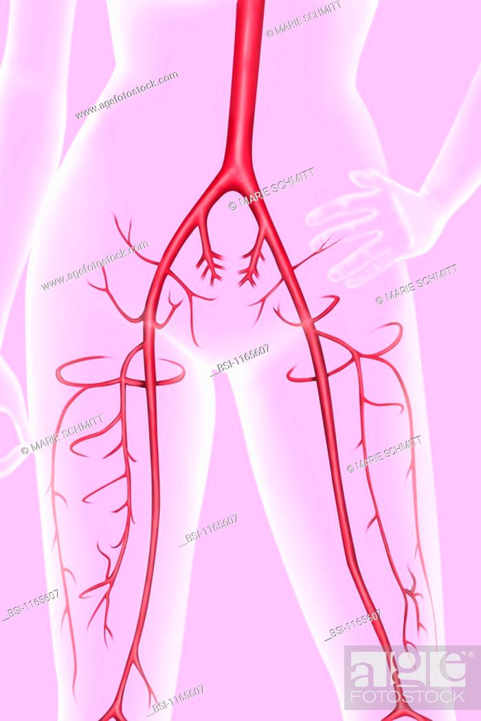 Arteries Of The Pelvis And Thigh The Abdominal Aorta Diverges At