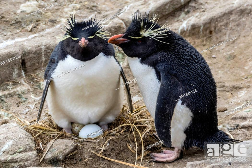Stock Photo: Adult rockhopper penguins (Eudyptes chrysocome) at nesting site on New Island, Falkland Islands, U.K. Overseas Protectorate, South America.